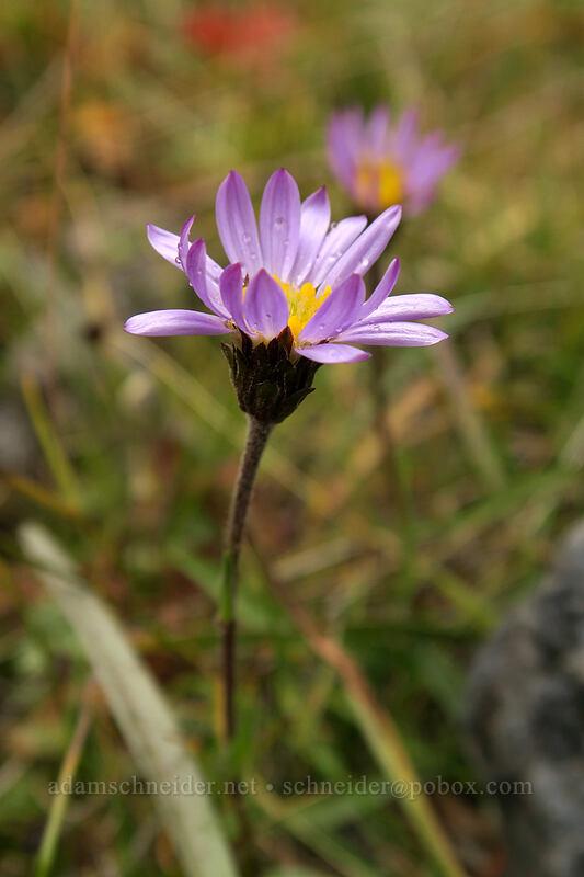 alpine aster (Oreostemma alpigenum) [Green Lakes Trail, Three Sisters Wilderness, Oregon]