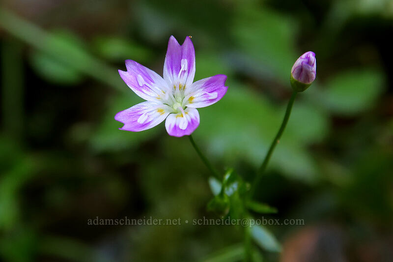 candyflower (Claytonia sibirica) [Henline Falls Trail, Opal Creek Wilderness, Oregon]