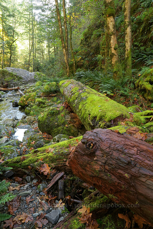 mossy logs & Henline Creek [Henline Falls Trail, Opal Creek Wilderness, Oregon]