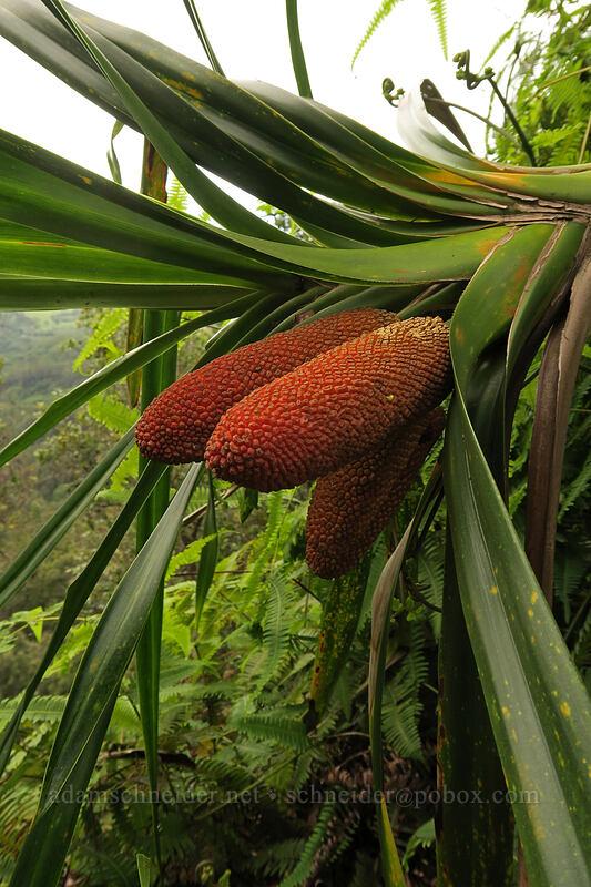 'ie'ie fruit (Freycinetia arborea) [Hihimanu Trail, Hanalei, Kaua'i, Hawaii]