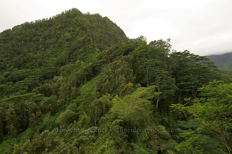 albizia trees & Hihimanu (Falcataria moluccana (Albizia moluccana)) [Hihimanu Trail, Hanalei, Kaua'i, Hawaii]