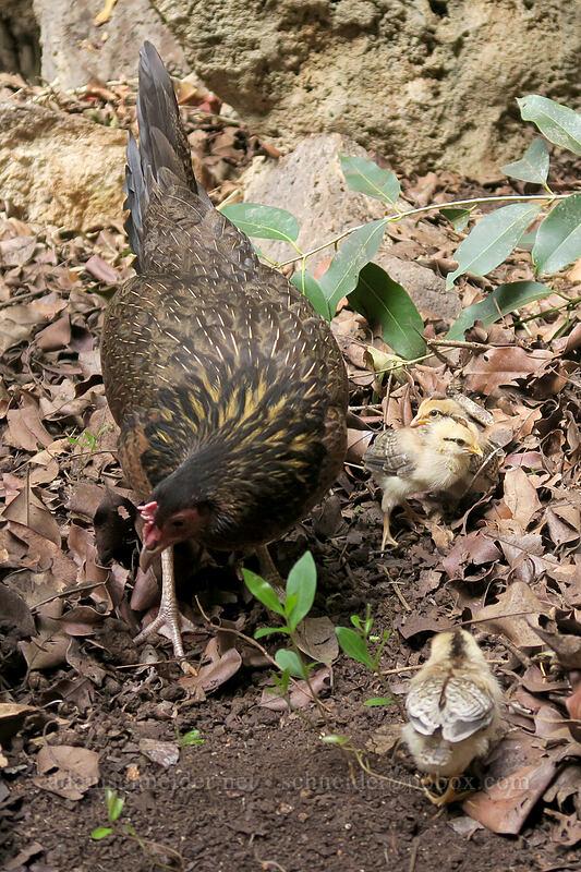 chickens (Gallus gallus domesticus) [Makauwahi Cave Trail, Maha'ulepu, Kaua'i, Hawaii]