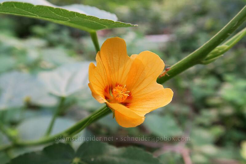 yellow 'ilima (Sida fallax) [Makauwahi Cave Trail, Maha'ulepu, Kaua'i, Hawaii]