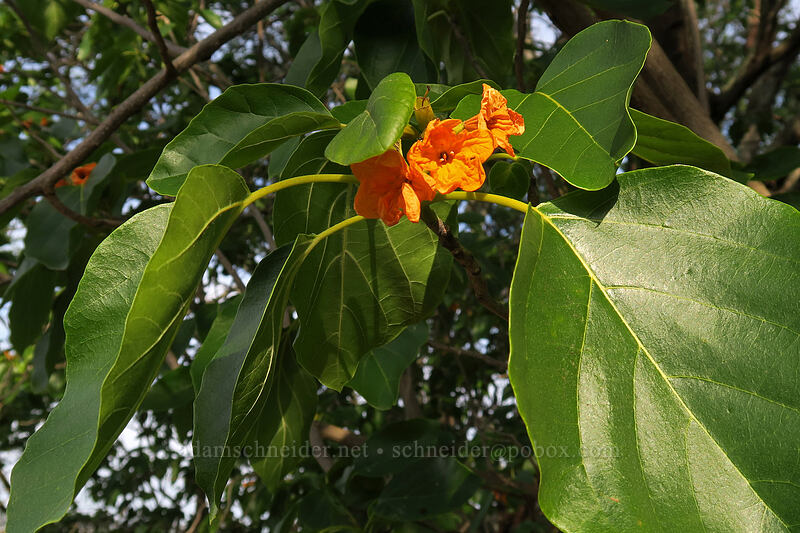 kou leaves & flowers (Cordia subcordata) [Makauwahi Cave Trail, Maha'ulepu, Kaua'i, Hawaii]