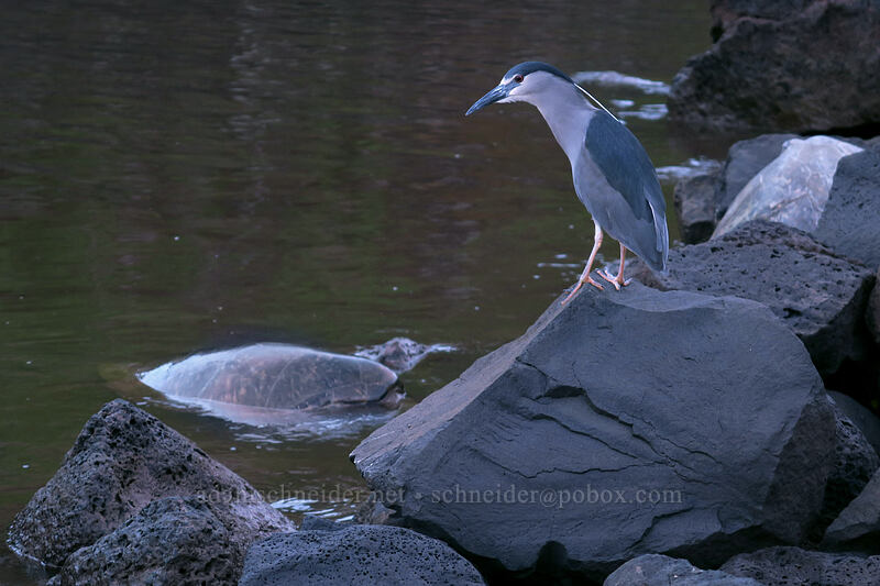 black-crowned night heron & sea turtle (Nycticorax nycticorax, Chelonia mydas) [Koloa Landing, Po'ipu, Kaua'i, Hawaii]