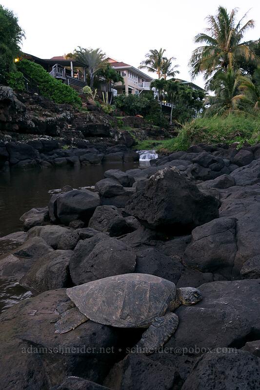 green sea turtle & Waikomo Stream (Chelonia mydas) [Koloa Landing, Po'ipu, Kaua'i, Hawaii]