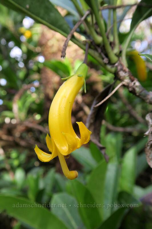 'ohe naupaka (Scaevola glabra) [Alaka'i Swamp Trail, Alaka'i Wilderness Preserve, Kaua'i, Hawaii]
