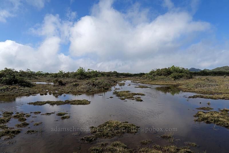 Alaka'i Swamp [Alaka'i Swamp Trail, Alaka'i Wilderness Preserve, Kaua'i, Hawaii]