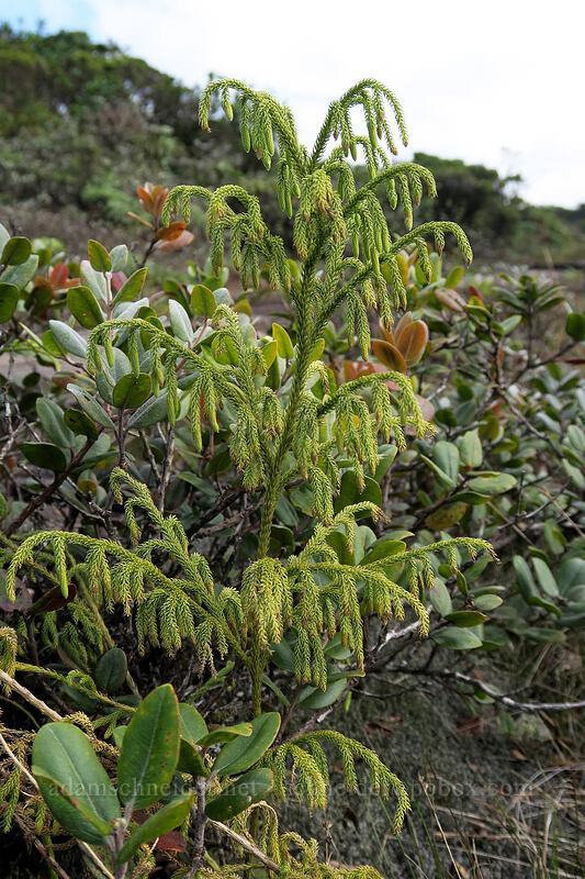 wawae'iole (staghorn club-moss) (Lycopodiella cernua) [Alaka'i Swamp Trail, Alaka'i Wilderness Preserve, Kaua'i, Hawaii]