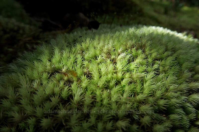 moss [Alaka'i Swamp Trail, Na Pali-Kona Forest Reserve, Kaua'i, Hawaii]
