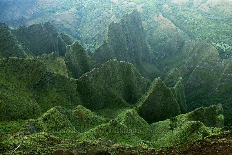 knife-edge ridges & an iliau tree (Wilkesia gymnoxiphium) [Kalepa Ridge Trail, Na Pali Coast State Park, Kaua'i, Hawaii]