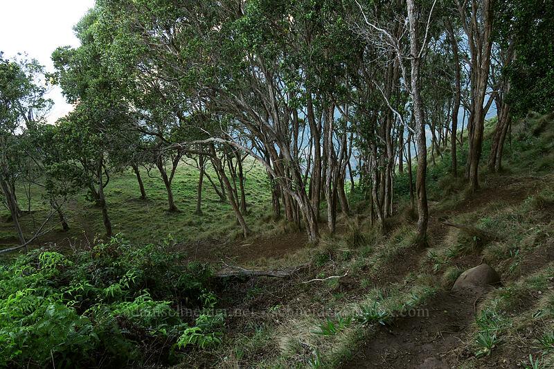 park-like ridgetop [Kalepa Ridge Trail, Na Pali Coast State Park, Kaua'i, Hawaii]