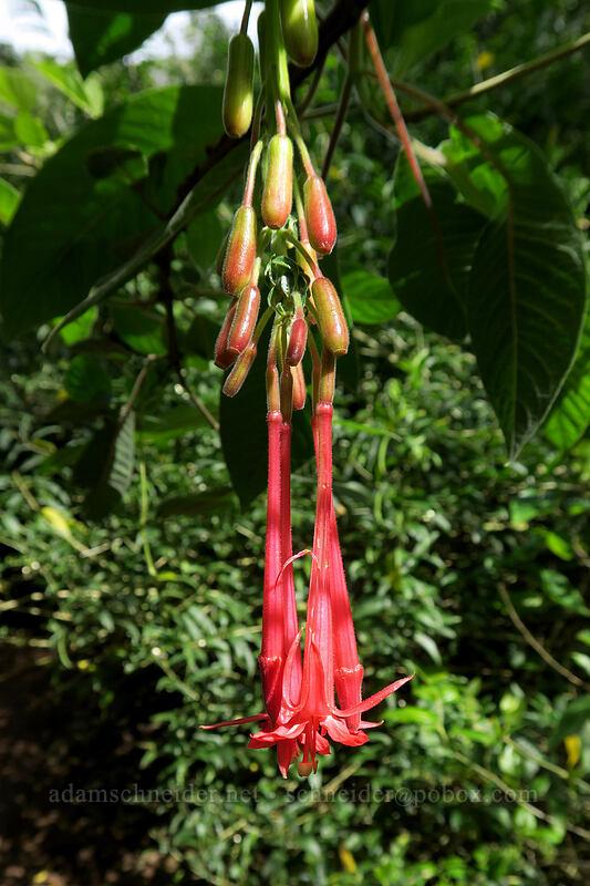 lady's eardrops (Fuchsia boliviana) [Canyon Trail, Waimea Canyon State Park, Kaua'i, Hawaii]