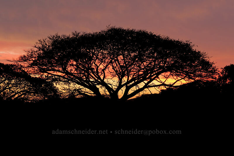monkeypod tree at sunset (Albizia saman) [Ho'owili Road, Po'ipu, Kaua'i, Hawaii]