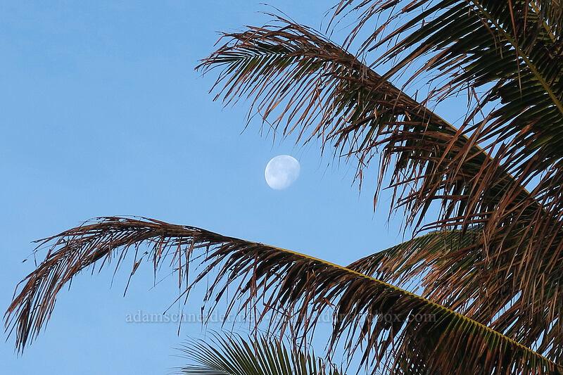 coconut palm & the moon (Cocos nucifera) [Papa'a Bay, Anahola, Kaua'i, Hawaii]
