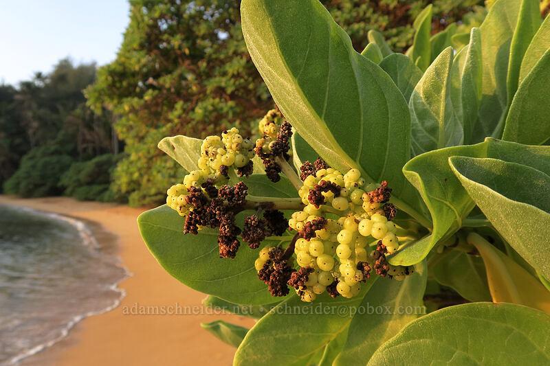 tree heliotrope berries (Heliotropium foertherianum (Tournefortia argentea)) [Papa'a Bay, Anahola, Kaua'i, Hawaii]