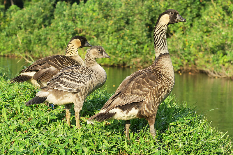 nene family (Branta sandvicensis) [Hanalei National Wildlife Refuge, Hanalei, Kaua'i, Hawaii]