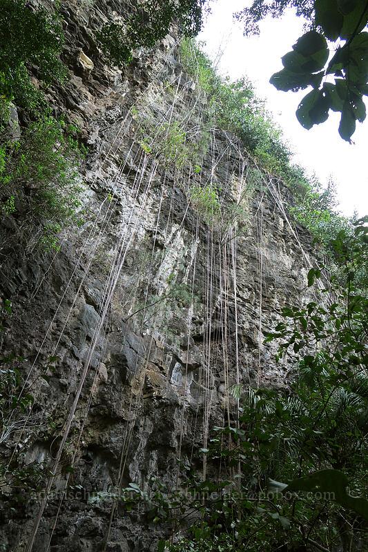 vines or roots [Waikapala'e Cave, Ha'ena State Park, Kaua'i, Hawaii]