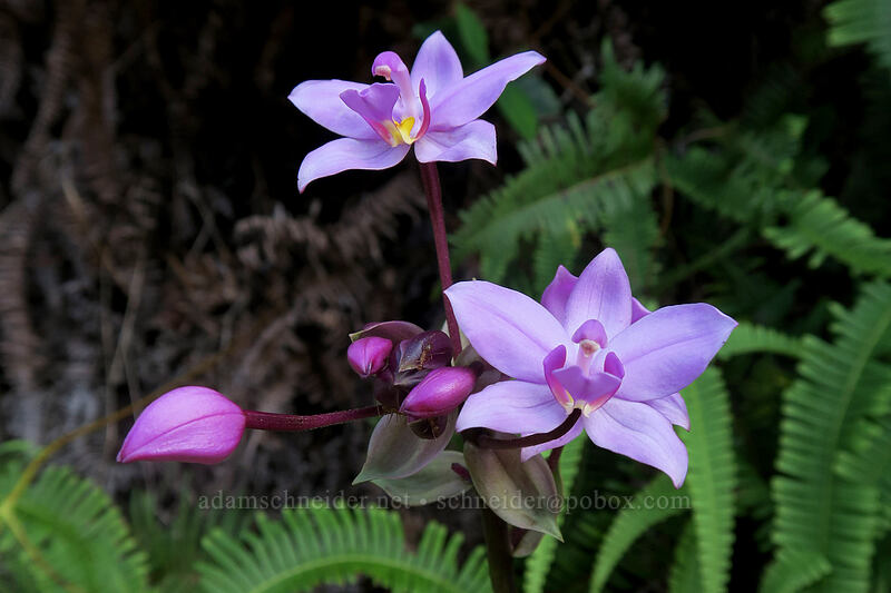 Philippine ground orchid (Spathoglottis plicata) [Kalalau Trail, Na Pali Coast State Park, Kaua'i, Hawaii]