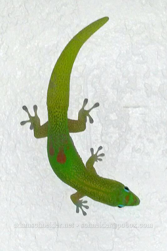 gold dust day gecko (Phelsuma laticauda) [Kipuka Street, Po'ipu, Kaua'i, Hawaii]