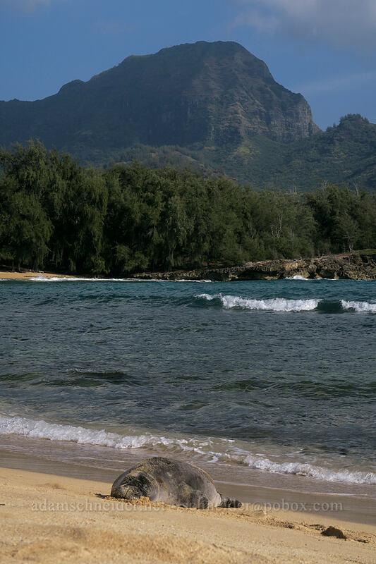 monk seal & Ha'upu Ridge (Neomonachus schauinslandi (Monachus schauinslandi)) [Kawailoa Bay, Maha'ulepu, Kaua'i, Hawaii]