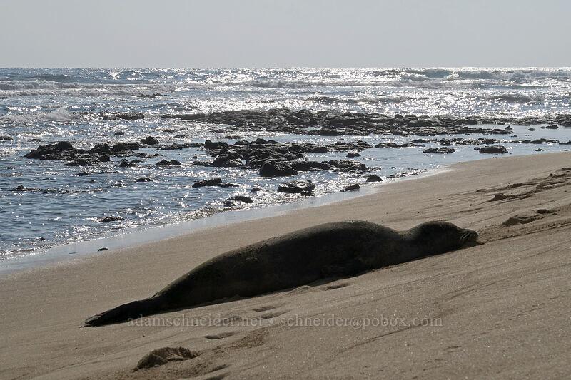 monk seal (Neomonachus schauinslandi (Monachus schauinslandi)) [Kawailoa Bay, Maha'ulepu, Kaua'i, Hawaii]