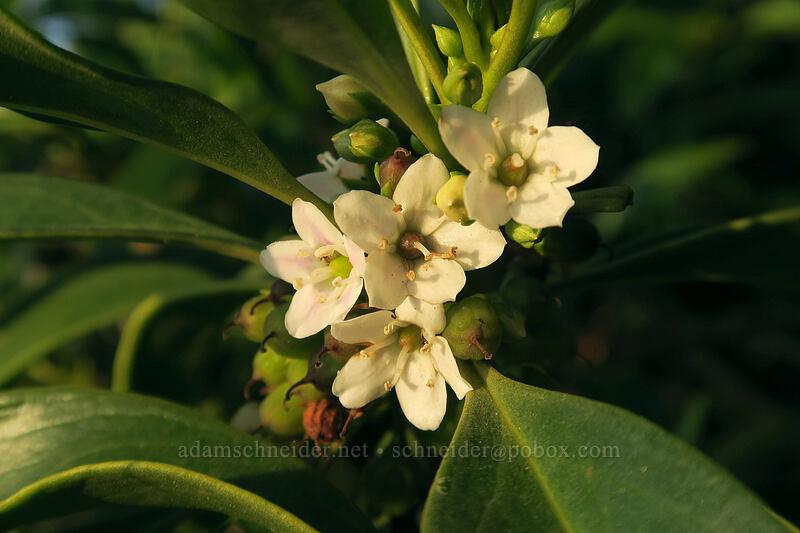 naio (false sandalwood) (Myoporum sandwicense) [Polihale Beach, Polihale State Park, Kaua'i, Hawaii]