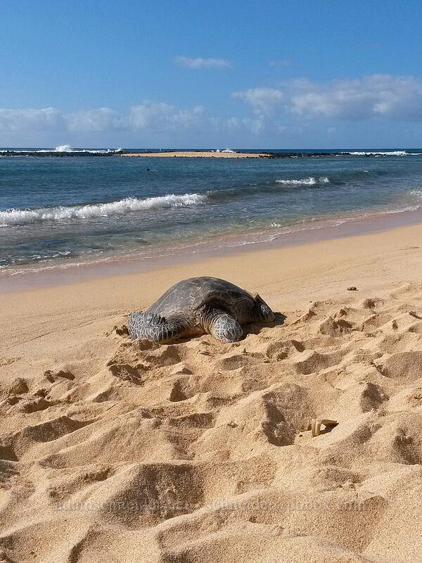 green sea turtle (Chelonia mydas) [Po'ipu Beach Park, Po'ipu, Kaua'i, Hawaii]