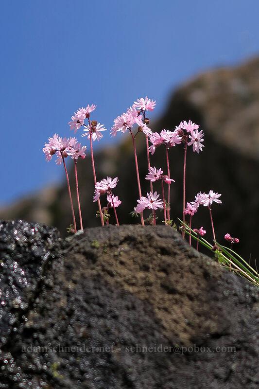 prairie stars (Lithophragma glabrum) [Old Highway 8, Klickitat County, Washington]