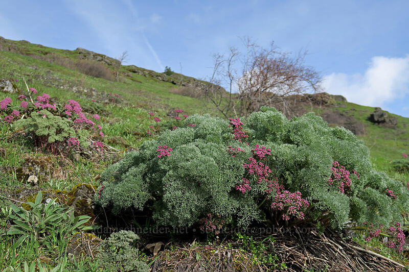 Columbia desert-parsley (Lomatium columbianum) [Coyote Wall, Klickitat County, Washington]