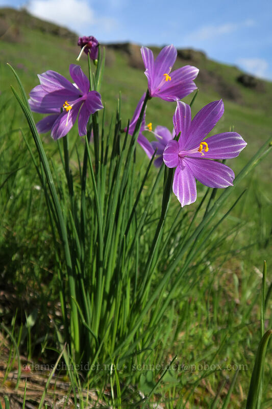 striped grass widows (Olsynium douglasii) [Coyote Wall, Klickitat County, Washington]