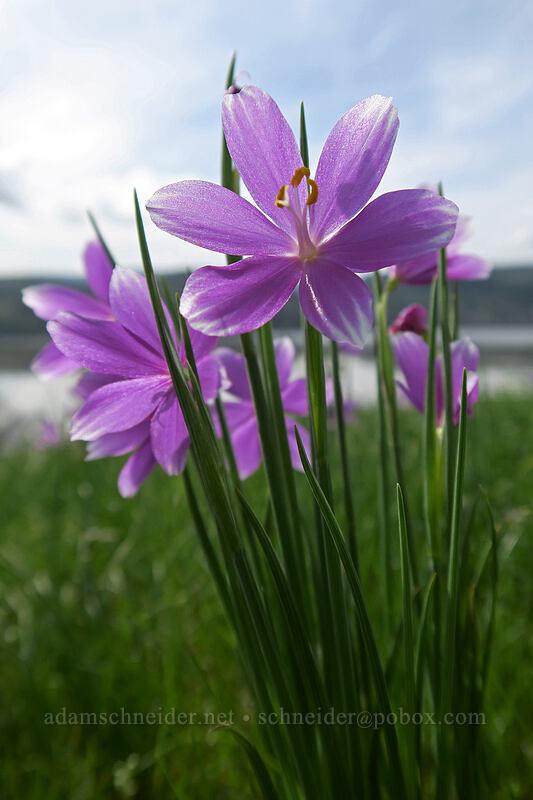 grass widows (Olsynium douglasii) [Coyote Wall, Klickitat County, Washington]