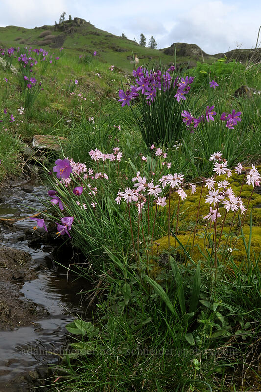grass widows & prairie stars (Olsynium douglasii, Lithophragma glabrum) [Coyote Wall, Klickitat County, Washington]