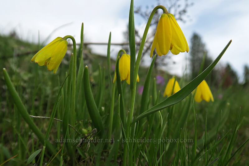 yellow bells (Fritillaria pudica) [Coyote Wall, Klickitat County, Washington]