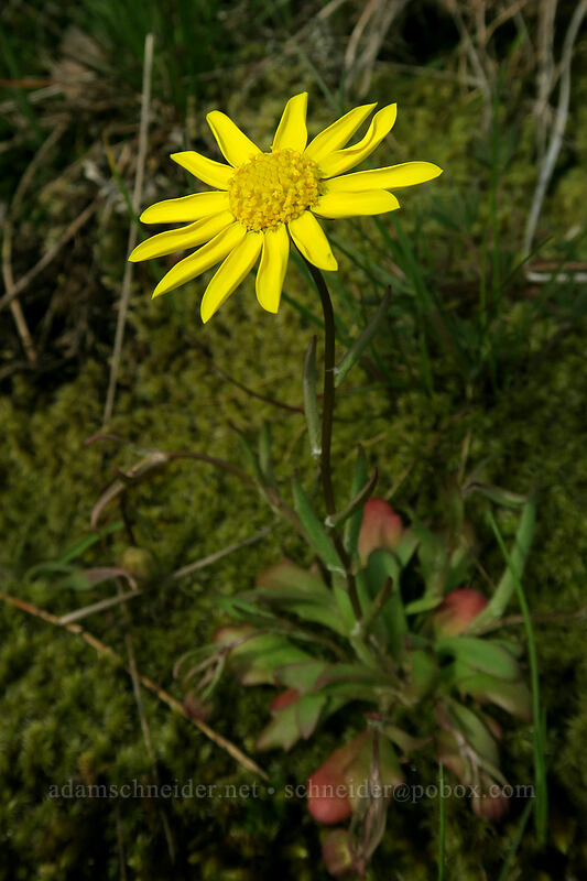 gold stars (Crocidium multicaule) [Coyote Wall, Klickitat County, Washington]