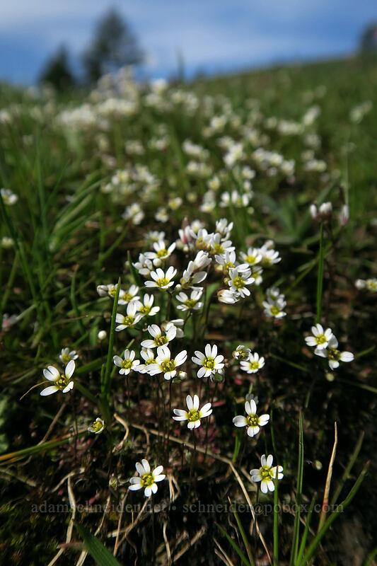 spring whitlow-grass (Draba verna) [Coyote Wall, Klickitat County, Washington]