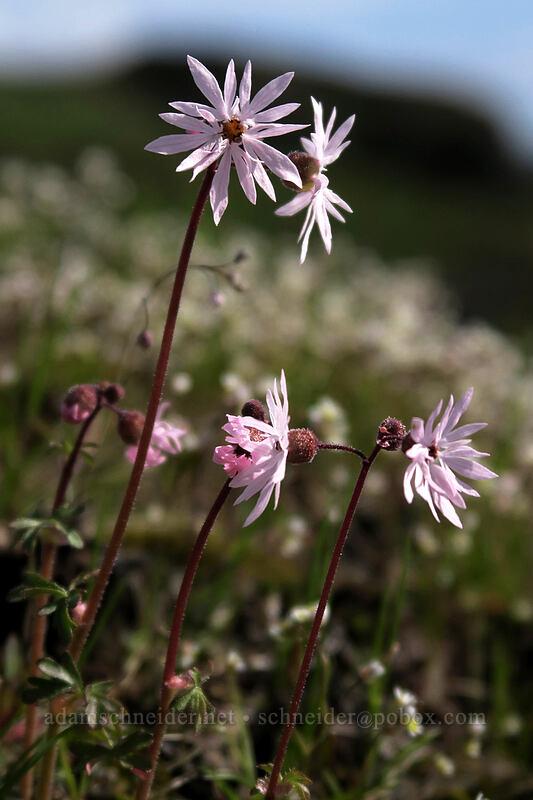 prairie stars (Lithophragma glabrum) [Coyote Wall, Klickitat County, Washington]