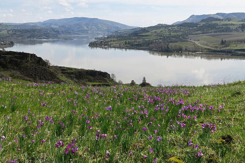 grass widows & the Columbia River (Olsynium douglasii) [Coyote Wall, Klickitat County, Washington]