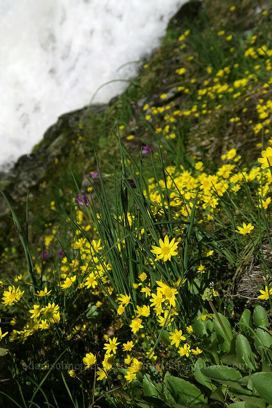 gold stars & whitewater (Crocidium multicaule) [The Labyrinth, Klickitat County, Washington]