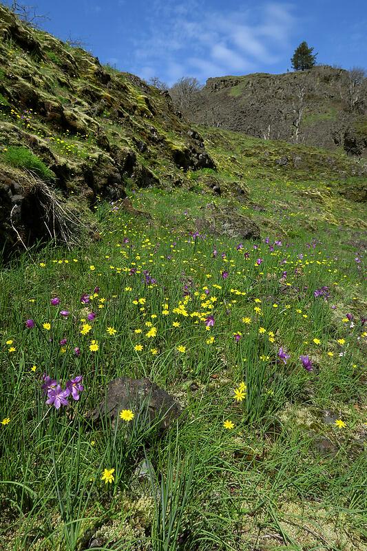 gold stars & grass widows (Crocidium multicaule, Olsynium douglasii) [The Labyrinth, Klickitat County, Washington]