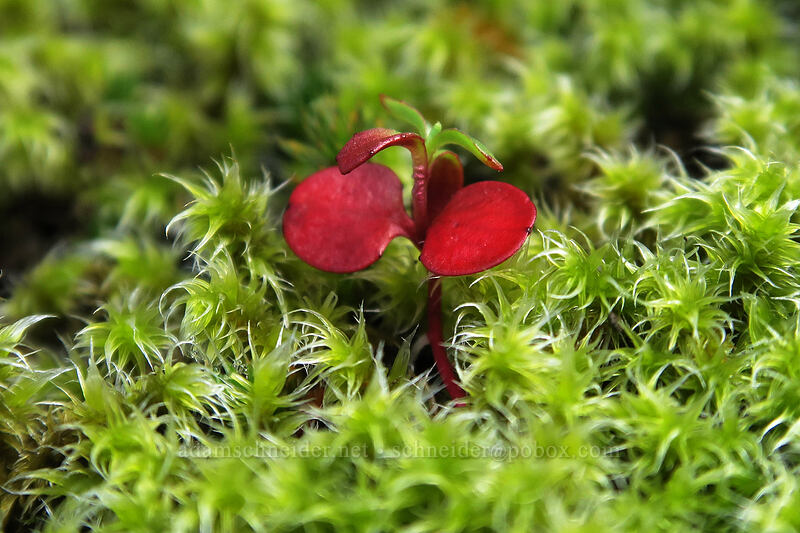 seedling in moss [The Labyrinth, Klickitat County, Washington]