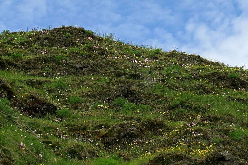 gold stars & prairie stars (Crocidium multicaule, Lithophragma glabrum) [The Labyrinth, Klickitat County, Washington]