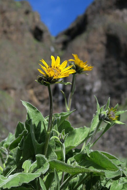 balsamroot (Balsamorhiza sp.) [Doug's Beach State Park, Klickitat County, Washington]
