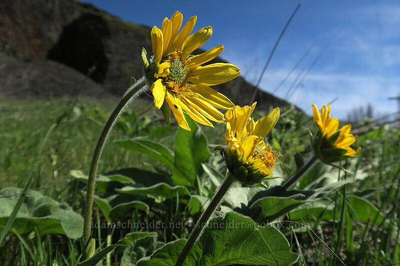 balsamroot (Balsamorhiza sp.) [Doug's Beach State Park, Klickitat County, Washington]