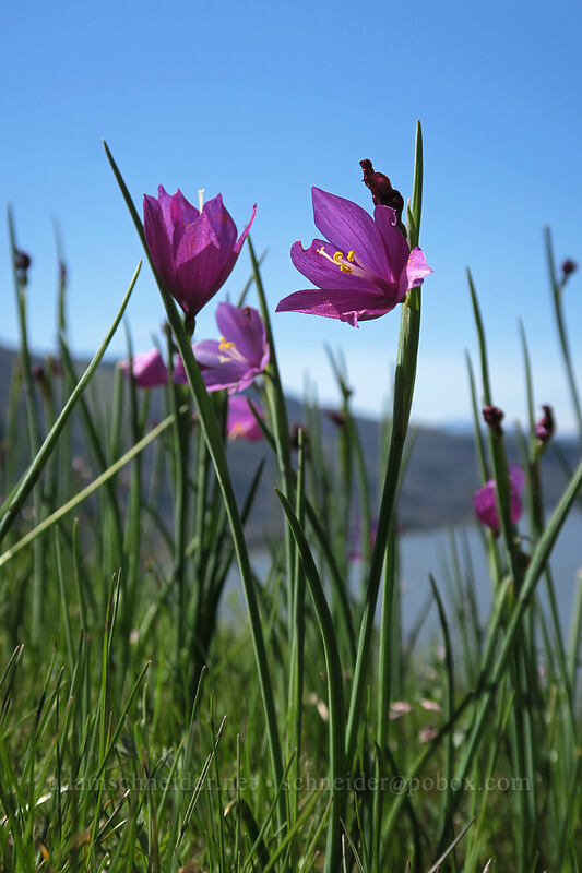grass widows (Olsynium douglasii) [Doug's Beach State Park, Klickitat County, Washington]