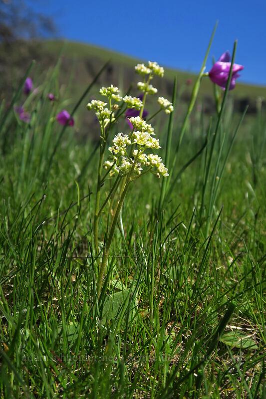 saxifrage & grass widows (Saxifraga integrifolia, Olsynium douglasii) [Doug's Beach State Park, Klickitat County, Washington]