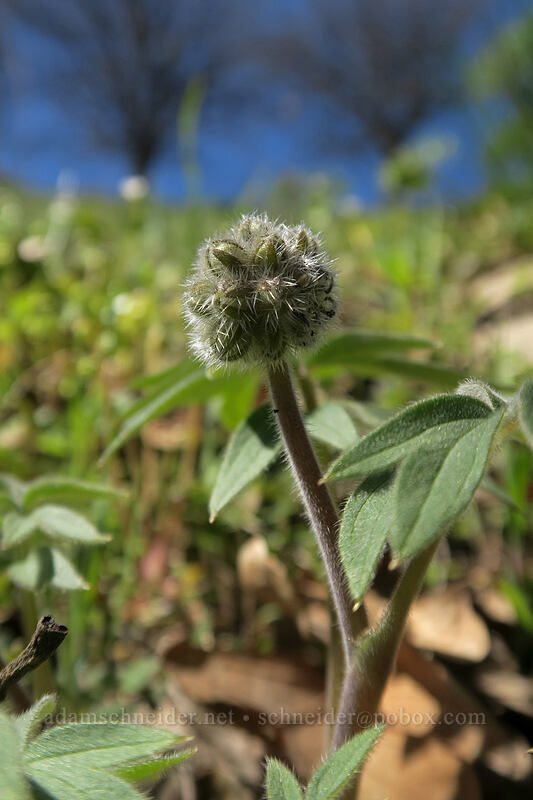 ball-head waterleaf (Hydrophyllum capitatum var. thompsonii) [Doug's Beach State Park, Klickitat County, Washington]