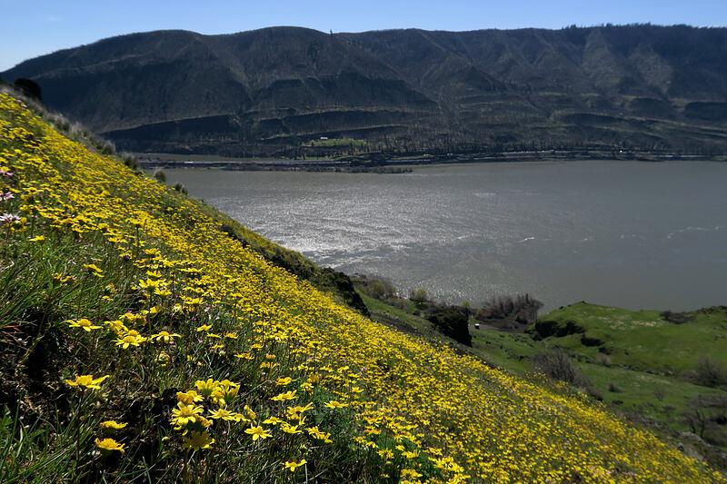 gold stars & the Columbia River (Crocidium multicaule) [Doug's Beach State Park, Klickitat County, Washington]