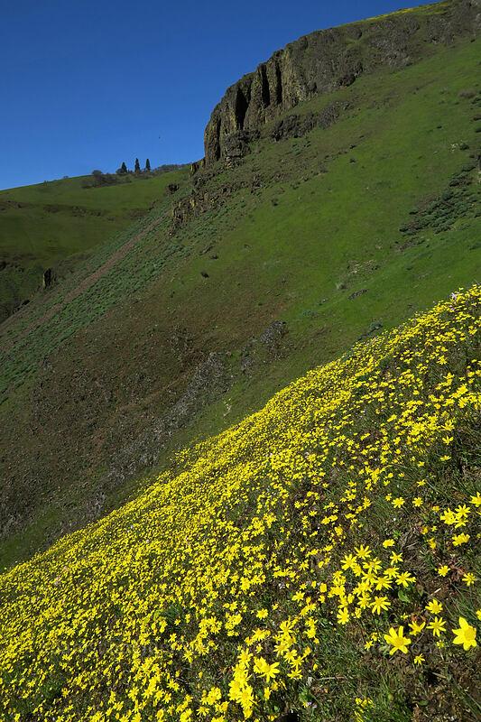 gold stars (Crocidium multicaule) [Doug's Beach State Park, Klickitat County, Washington]