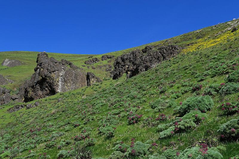 Columbia desert parsley (Lomatium columbianum) [Doug's Beach State Park, Klickitat County, Washington]